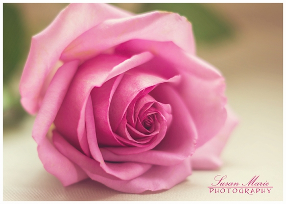 Faded Pink Rose