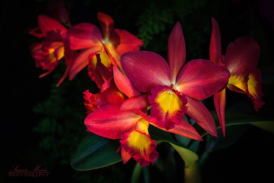 Red & Yellow Orchids