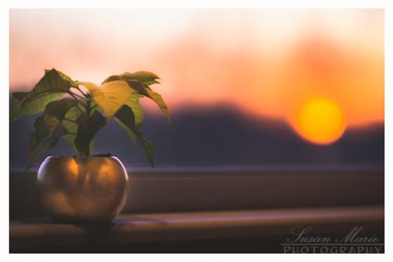 Poinsettia Sunset