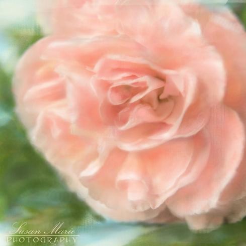 2 PTR Pink Square Carnation