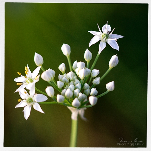 White Onion Blossom